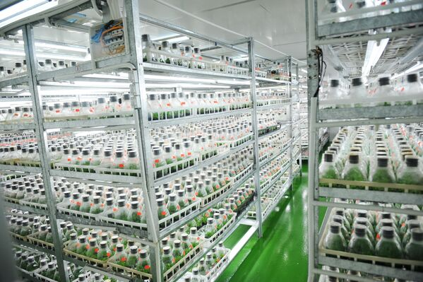 The view into a tissue culture production facility – young plants of orchids